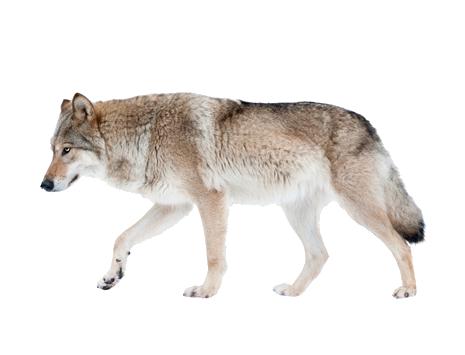 Wie nennt man eine Kreatur, die halb Wolf und halb Mensch ist?